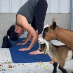 Goat Yoga & Langley Wineries Tour 7